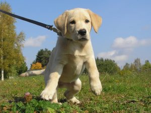 Sunfire Labradors Puppies